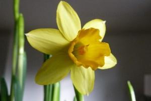 Narcissen bloem, kelk