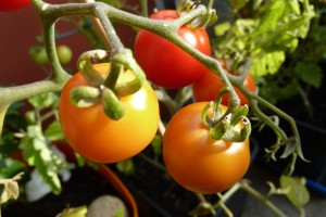 Tomaten binnen kweken