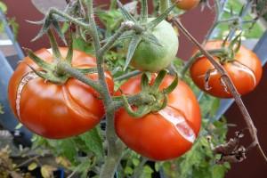 tomaten met scheuren