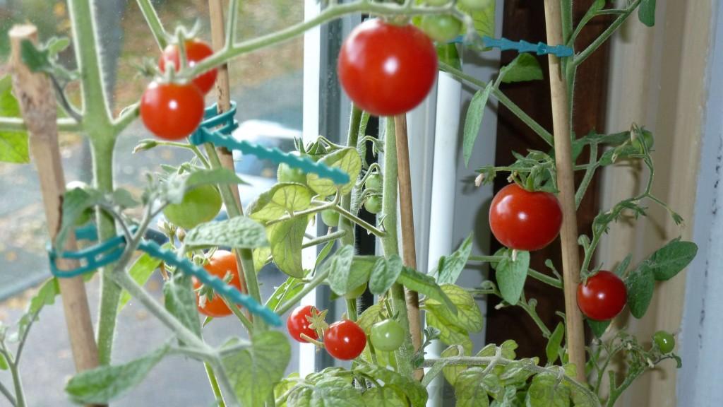 oogsttijd tomatenplanten cherrytomaat kerstomaat minibel