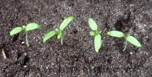 extra blaadjes tomatenplantje
