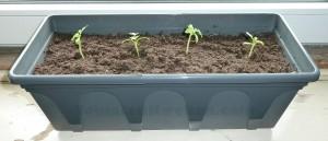 tomatenplantjes verspenen in een nieuwe pot