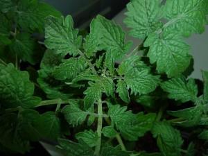 eerste bloemknoppen in tomatenplant