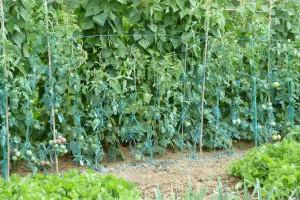 insecticide tomatenplant blauwe uitslag