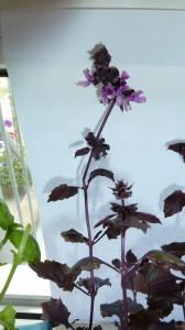 Paarse basilicum met bloemetjes. Laat ze uitbloeien om zaden te winnen.