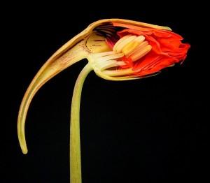 Een doormidden gesneden bloem (bron)