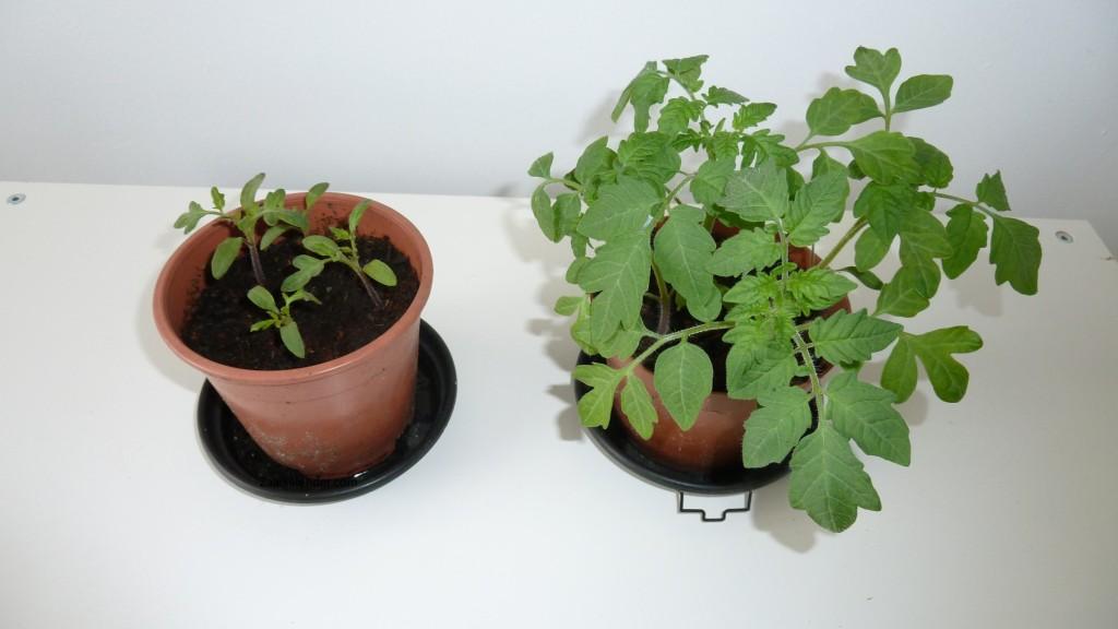tomaten-kweken-week-5-buiten-binnen