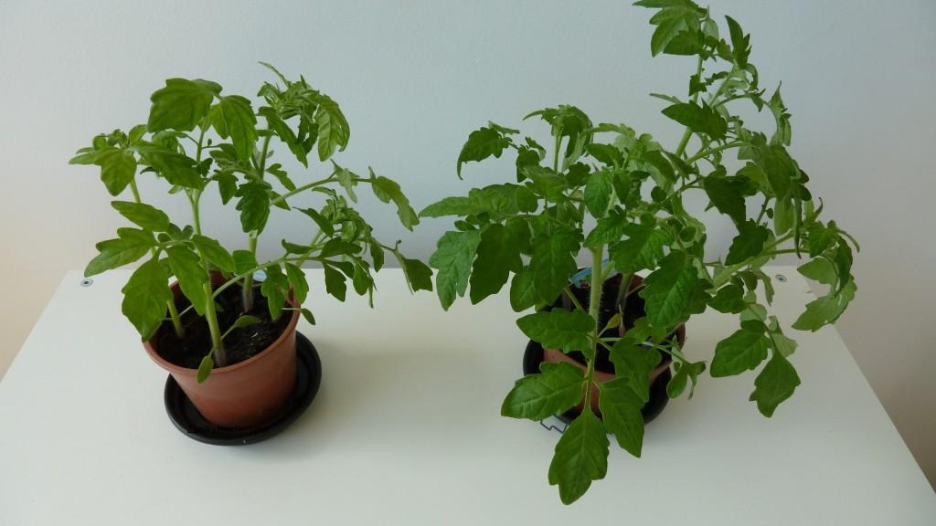 Nadat we de buitenplantjes weer binnen zetten trekken ze weer helemaal bij! (foto ruim 1 week later)