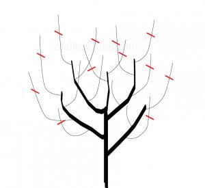 appelboom snoeien_3jaar