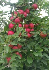 appelboom_oogsttijd